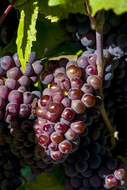 Washington State, Royal City. Pinot Gris Grapes on the Royal Slope in the Columbia River Valley by Richard Duval