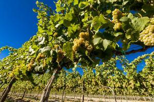 Washington State, Royal City. Riesling Grapes on the Royal Slope in the Columbia River Valley by Richard Duval