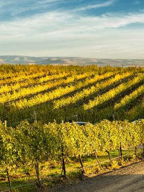 Washington State, Walla Walla. Fall Color in Vineyards by Richard Duval