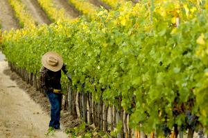 Washington State, Walla Walla. Field Worker at Harvest in a Vineyard by Richard Duval