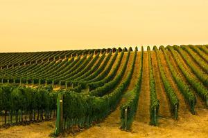 Washington State, Walla Walla. Harvest Season in a Vineyard by Richard Duval