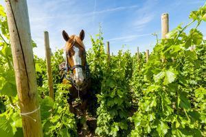 Washington State, Walla Walla. Vineyard That Tills the Soil with Horsepower by Richard Duval
