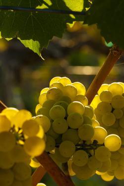 Washington State, Yakima Valley. Chardonnay Grapes by Richard Duval