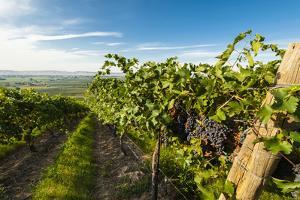 Washington State, Yakima Valley. Grenache Grapes by Richard Duval