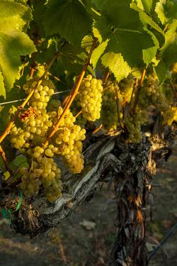 Washington State, Yakima Valley. Harvest in a Vineyard by Richard Duval
