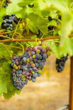Washington State, Yakima Valley. Syrah Grapes in a Vineyard by Richard Duval