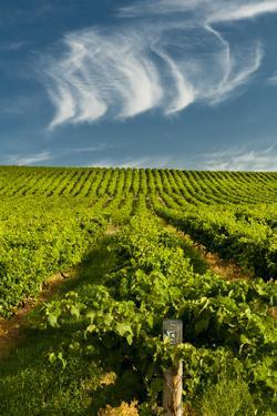 Washington State, Yakima Valley. Vineyard Just to the North of Sunnyside by Richard Duval