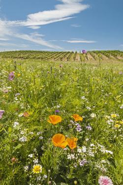 Wildflowers by Northstar's Vineyard, Walla Walla, Washington, USA by Richard Duval