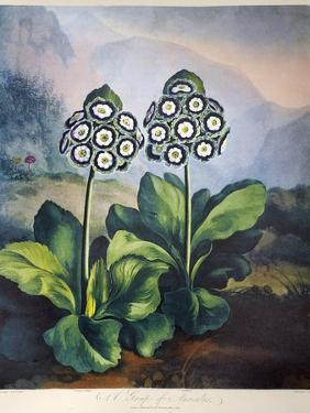 Thornton: Auriculas by Richard Earlom