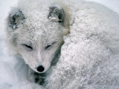 Arctic Fox Sleeping in Snow