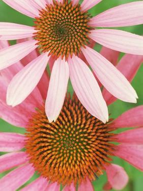 Pink Cone Flowers Close-Up by Richard Hamilton Smith