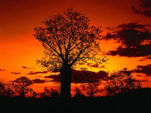 Boab Trees at Sunset, Kununurra,Western Australia, Australia by Richard I'Anson