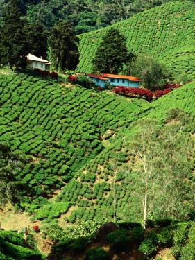 Boh's Sungais Palas Estate Tea Plantation, Cameron Highlands, Perak, Malaysia by Richard I'Anson