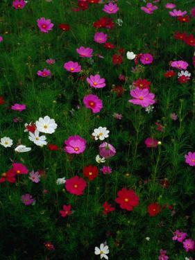 Cosmos Flowers in Bloom, Tono, Tohoku, Japan, by Richard I'Anson