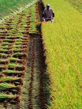 Harvesting Rice, Japan by Richard I'Anson