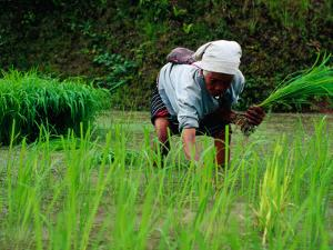 Ifugao Women Transplanting Rice, Banaue, Philippines by Richard I'Anson