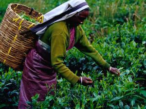 Worker Picking Tea Bushes, Nuwara Eliya, Sri Lanka by Richard I'Anson