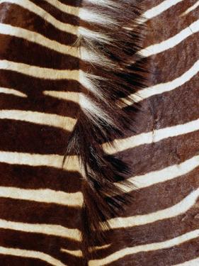 Zebra Skin Detail, Durban, Kwazulu-Natal, South Africa by Richard I'Anson