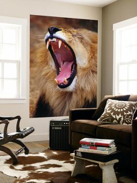 Lion Yawns in Moremi Wildlife Reserve by Richard l'Anson