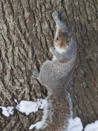 Squirrel on Tree Trunk in Central Park by Richard l'Anson
