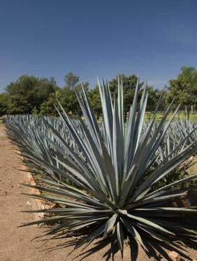 Agave Plants from Which Tequila Is Made, Hacienda San Jose Del Refugio, Amatitan, Jalisco by Richard Maschmeyer
