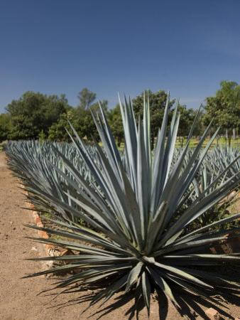 Agave Plants from Which Tequila Is Made, Hacienda San Jose Del Refugio, Amatitan, Jalisco