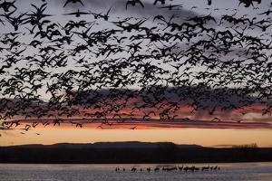 Lesser Snow Geese (Chen Caerulescens Caerulescens) in Flight at Sunrise by Richard Maschmeyer