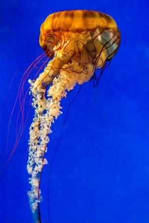 The Large, Beautiful, Orange Pacific Sea Nettle Jellyfish. by Richard McMillin