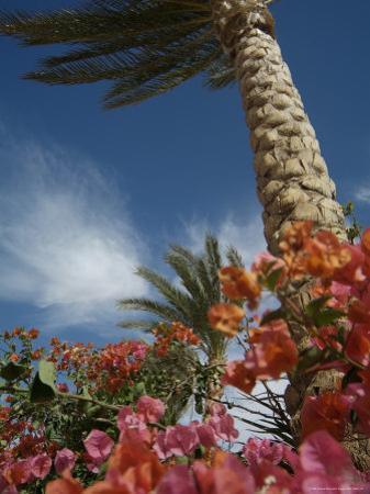 Bougainvillea Flowers Surround a Palm Tree by Richard Nowitz