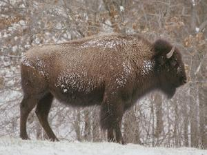 Buffalo in the Snow by Richard Nowitz