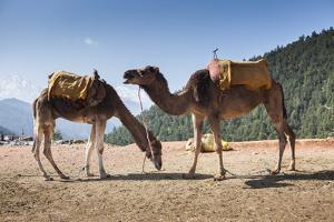 Camels on the Side of a Road in Morocco by Richard Nowitz
