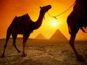 Dromedary Camels with the Pyramids of Giza in the Background by Richard Nowitz