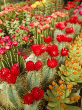 Flowering Cactus Plants for Sale at a Street Market by Richard Nowitz
