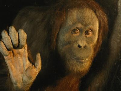 Orangutan (Pongo Pygmaeus) by Richard Nowitz