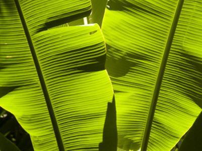 Sun Pattern on Tropical Jungle Leaf, Punta de Sal island, Honduras by Richard Nowitz