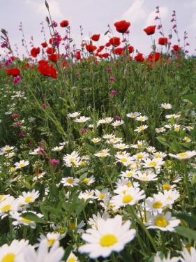Wildflower Farming on a Kibbutz in Springtime by Richard Nowitz