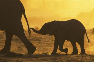 African Elephant (Loxodonta Africana) Calf Holding Mother's Tail, Khaudom Game Reserve, Namibia by Richard Packwood