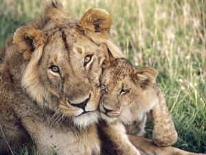African Lion, Masai Mara Reserve, Kenya by Richard Packwood
