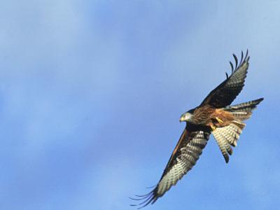 Red Kite, Flying Over Feeding Station, Powys, UK