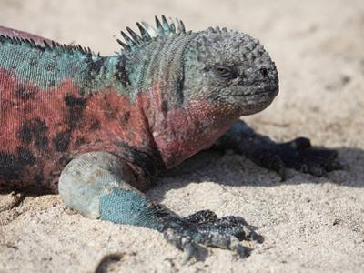 Galapagos Marine Iguana (Amblyrhynchus Cristatus Venustissimus), Espanola Island, Galapagos