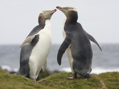 Yellow-Eyed Penguins Allopreening (Megadyptes Antipodes)