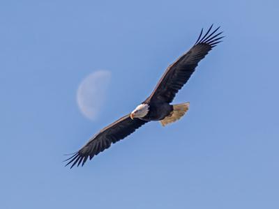 A bald eagle flies beneath the setting half moon. by Richard Seeley