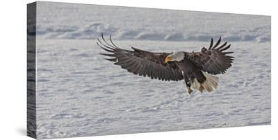 A bald eagle lands on the snow at the Chilkat River with wings spread to the maximum width by Richard Seeley