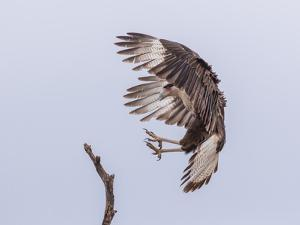 A Crested Caracara, AKA Mexican Eagle, with Wings in a Braking Position and Talons Extended by Richard Seeley