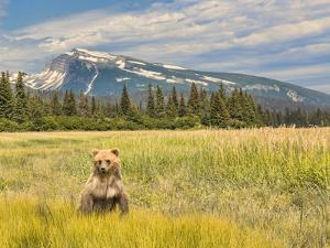 A female grizzly bear standing on hind legs in golden ground cover. by Richard Seeley