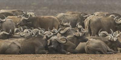 A herd of cape buffalo rest and relax along the shore of Lake Manyara. by Richard Seeley