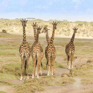 A herd of giraffes stop and watch for any threats as they approach their watering hole. by Richard Seeley