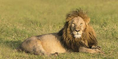 A male lion rests in the early morning light. by Richard Seeley