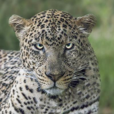 Portrait of a leopard in Serengeti National Park. by Richard Seeley
