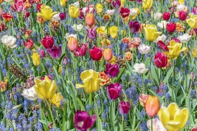 Kuekenhof Tulips I